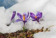 Azafranes de la primavera que florecen de la nieve hacia el sol de la primavera Imagenes de archivo