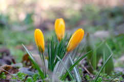 Azafranes de las flores fotos de archivo