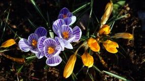 Azafranes del jardín Fotos de archivo