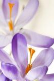 Azafranes del resorte de la lila fotos de archivo