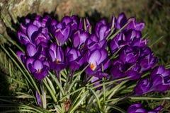 Azafranes en el tiempo de primavera imagenes de archivo