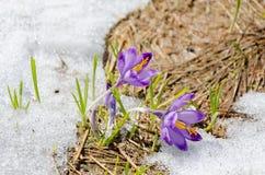 Azafranes en la nieve Imagen de archivo