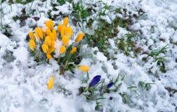 Azafranes en la nieve Imagenes de archivo