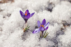 Azafranes en la nieve Foto de archivo libre de regalías