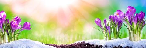Azafranes en la primavera foto de archivo libre de regalías
