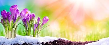 Azafranes en la primavera imagen de archivo libre de regalías