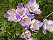 Azafranes en primavera Imagen de archivo