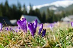 Azafranes florecientes hermosas en valle del chocholowska en moun del tatra Fotografía de archivo libre de regalías