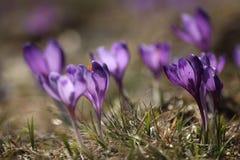 Azafranes frágiles delicadas en primavera temprana Fotografía de archivo