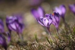 Azafranes frágiles delicadas en primavera temprana imagen de archivo libre de regalías