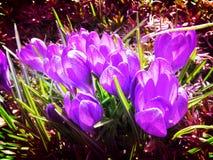 Azafranes iluminadas por el sol de la púrpura de marzo Fotos de archivo libres de regalías