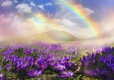 Azafranes mágicas de la primavera de la alfombra Fotos de archivo