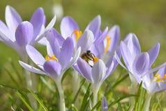 Azafranes púrpuras Foto de archivo