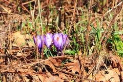 Azafranes púrpuras Imagen de archivo libre de regalías