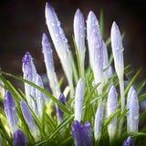 Azafranes púrpuras de florecimiento después de una ducha de lluvia imagenes de archivo