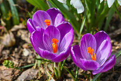 Azafranes púrpuras en luz del sol fotos de archivo