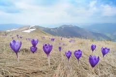Azafranes púrpuras en montañas Fotos de archivo