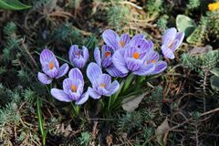 Azafranes púrpuras en un día de primavera foto de archivo