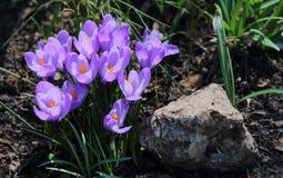 Azafranes púrpuras en un día de primavera fotografía de archivo