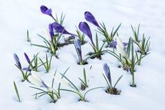 Azafranes púrpuras y blancas que crecen en un macizo de flores nevado Fotografía de archivo libre de regalías