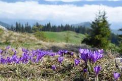 Azafranes, primeras flores de la primavera foto de archivo libre de regalías