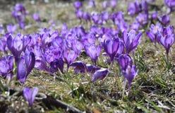 Azafranes, primeras flores de la primavera Fotos de archivo libres de regalías
