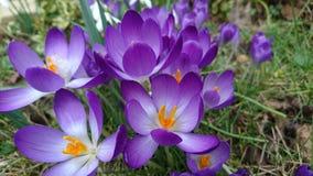 Azafranes púrpuras de la primavera que florecen 2 florecientes Imágenes de archivo libres de regalías