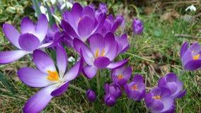 Azafranes púrpuras de la primavera que florecen 3 florecientes Fotos de archivo libres de regalías