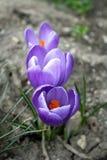 Azafranes purpúreas claras en la tierra Primeras flores del resorte fotos de archivo