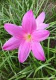Azafranes rosadas en día de primavera imagen de archivo