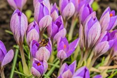Azafranes tempranas florecientes de la púrpura de la primavera Foto de archivo libre de regalías