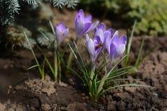 Azafranes violetas, flores de la primavera Fotografía de archivo