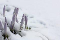 Azafranes y nieve Foto de archivo libre de regalías