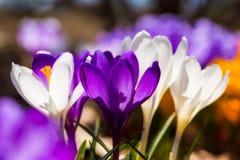 Azafrán de la primavera Foto de archivo libre de regalías