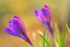 Azafrán fresca de la primavera Imagen de archivo