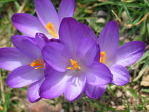 Azafrán púrpura Imagen de archivo