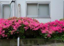 Azalée dans la rue à Tokyo, Japon Images stock