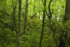 Azalée de flamme, Pisgah national. Forêt images libres de droits