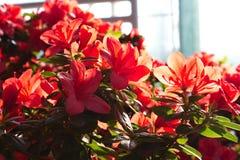 Azalée de floraison Image stock