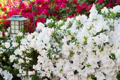 Azalée de floraison Photo stock