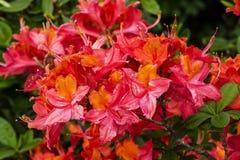 Azalée fleurissante japonaise Photos stock