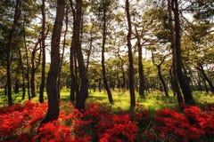 Azalée royale parmi des pins Photo stock