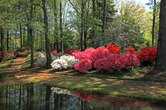 Azalées aux jardins de Callaway photographie stock libre de droits