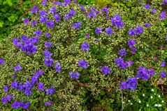 Azalées dans le ` s Crystal Springs Rhododendron Garden de Portland Photos stock