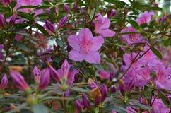 Azalées pourpres fleurissantes dans le jardin d'hiver Photo libre de droits