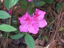 Azalées roses Photo stock