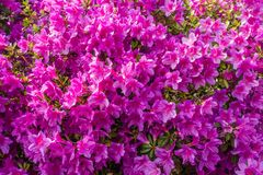 Azalées roses de fond Photos libres de droits