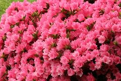 Azalées roses lumineuses Photos libres de droits