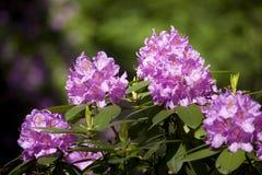 Azalea Royalty Free Stock Photo