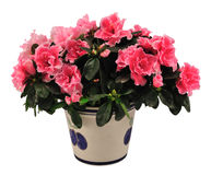 Azalea. Blossoming plant of azalea in flowerpot isolated on white royalty free stock image